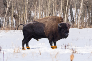 bison wearing rainboots at elk island national park