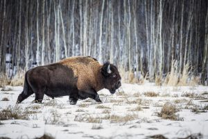 A bison walks through the snow at Elk Island National Park