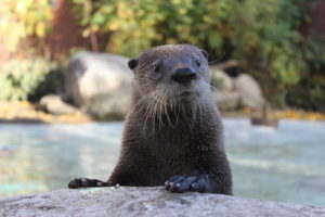 An otter pokes his head out of the water at the Edmonton Valley Zoo.