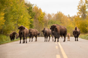 bison in the middle of the road
