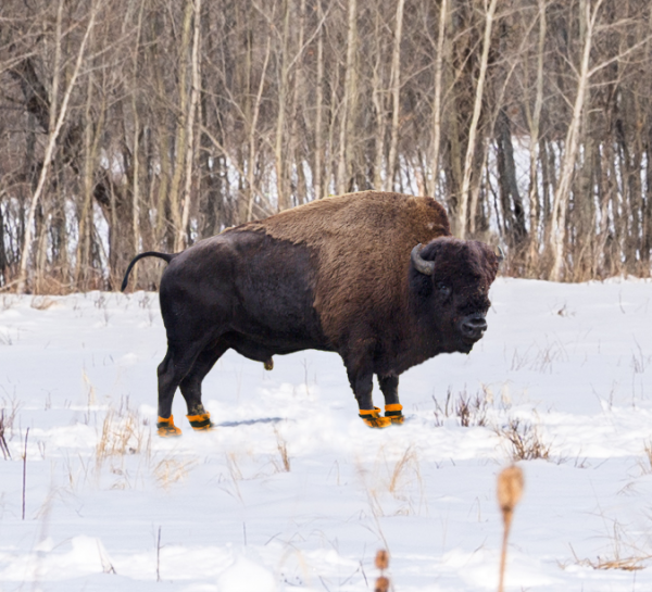 bison wearing rainboots at elk island national park